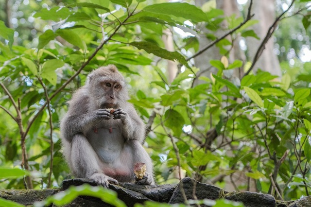 balinese-long-tailed-macaque-3541057_1920.jpg