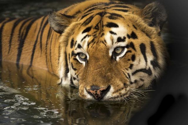 tiger-2791980_1920.jpg